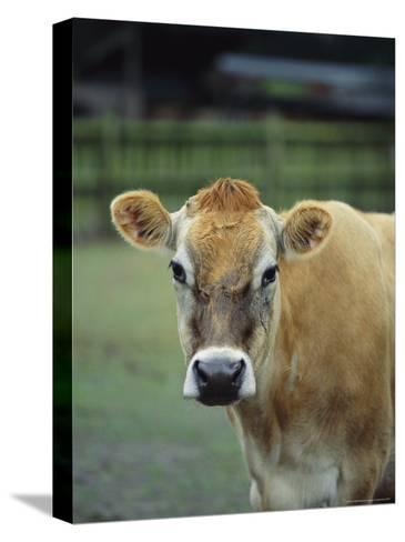 Close View of a Cow-Michael Melford-Stretched Canvas Print
