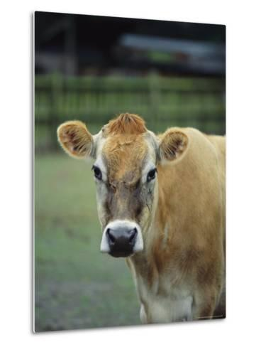 Close View of a Cow-Michael Melford-Metal Print