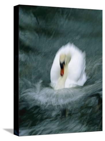 Time Exposure of a Swan Swimming-Michael Melford-Stretched Canvas Print