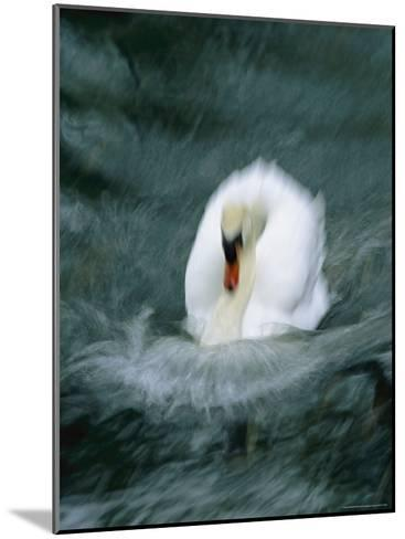 Time Exposure of a Swan Swimming-Michael Melford-Mounted Photographic Print