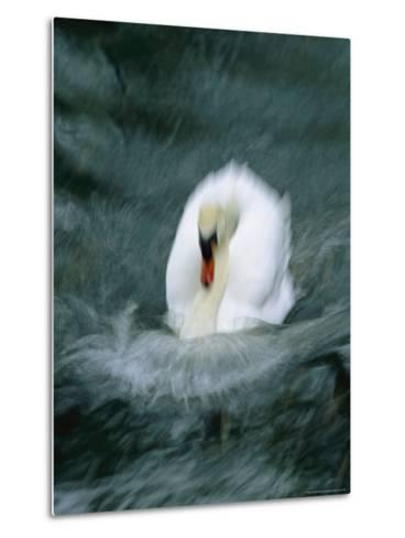Time Exposure of a Swan Swimming-Michael Melford-Metal Print