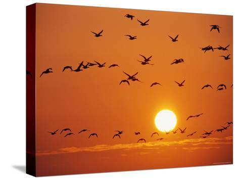 Birds in Flight Against Sunset Sky, Wattenmeer National Park, Germany-Norbert Rosing-Stretched Canvas Print