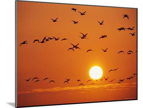 Birds in Flight Against Sunset Sky, Wattenmeer National Park, Germany-Norbert Rosing-Mounted Photographic Print