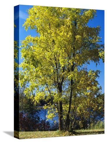 An Oak Tree in Early Fall Foliage Stands on the Edge of Falcon Lake-Raymond Gehman-Stretched Canvas Print