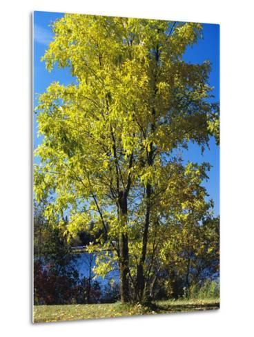 An Oak Tree in Early Fall Foliage Stands on the Edge of Falcon Lake-Raymond Gehman-Metal Print