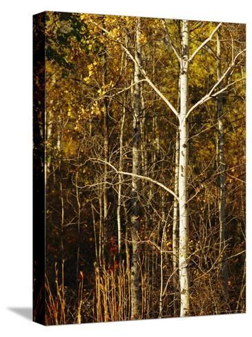 Aspen Trees with Autumn Foliage in Whiteshell Provincial Park-Raymond Gehman-Stretched Canvas Print