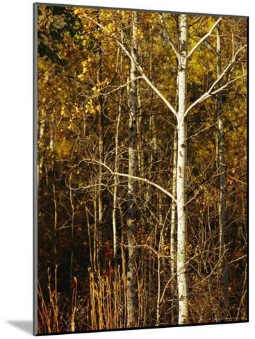 Aspen Trees with Autumn Foliage in Whiteshell Provincial Park-Raymond Gehman-Mounted Photographic Print