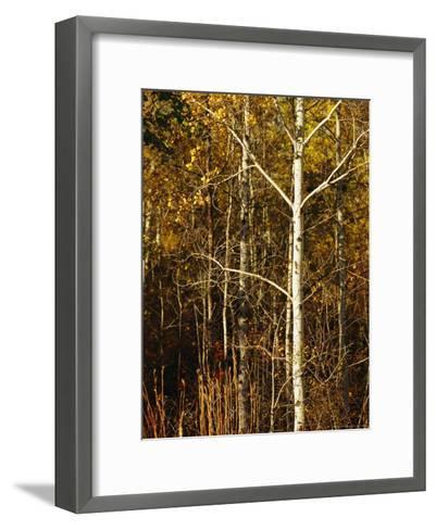 Aspen Trees with Autumn Foliage in Whiteshell Provincial Park-Raymond Gehman-Framed Art Print