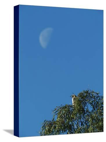An Early Moon Rises Above a Red-Tailed Hawk Perched in a Tree-Rich Reid-Stretched Canvas Print