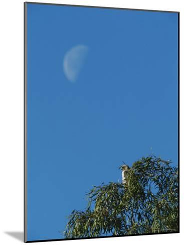 An Early Moon Rises Above a Red-Tailed Hawk Perched in a Tree-Rich Reid-Mounted Photographic Print