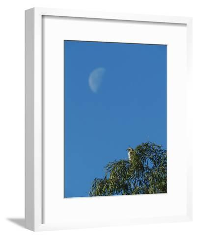 An Early Moon Rises Above a Red-Tailed Hawk Perched in a Tree-Rich Reid-Framed Art Print