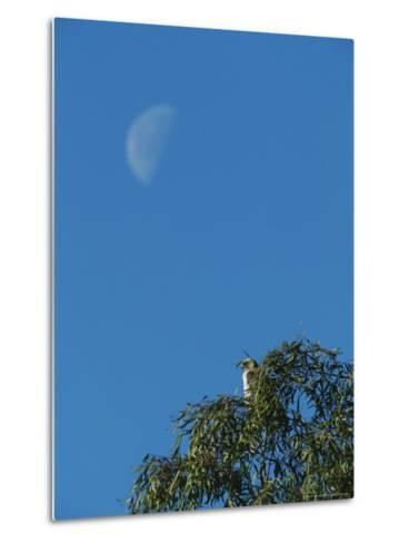 An Early Moon Rises Above a Red-Tailed Hawk Perched in a Tree-Rich Reid-Metal Print