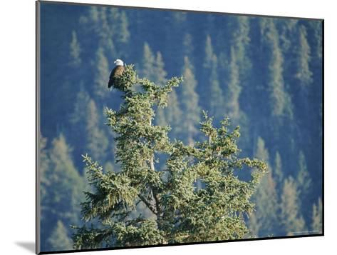 Bald Eagle Perched Atop a Tree in Seward, Alaska-Rich Reid-Mounted Photographic Print