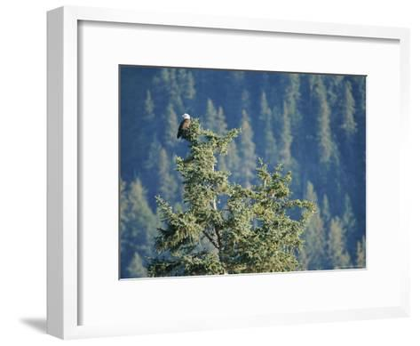 Bald Eagle Perched Atop a Tree in Seward, Alaska-Rich Reid-Framed Art Print