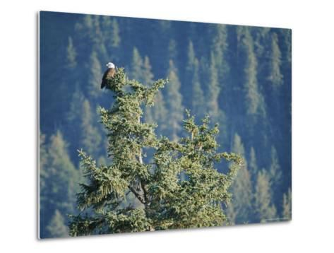Bald Eagle Perched Atop a Tree in Seward, Alaska-Rich Reid-Metal Print
