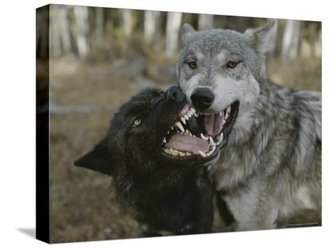Pair of Gray Wolves, Canis Lupus, Jaw Spar-Jim And Jamie Dutcher-Stretched Canvas Print