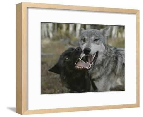 Pair of Gray Wolves, Canis Lupus, Jaw Spar-Jim And Jamie Dutcher-Framed Art Print