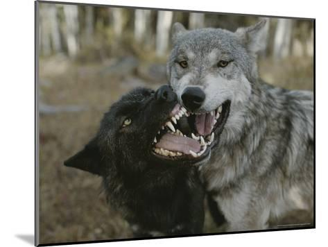 Pair of Gray Wolves, Canis Lupus, Jaw Spar-Jim And Jamie Dutcher-Mounted Photographic Print