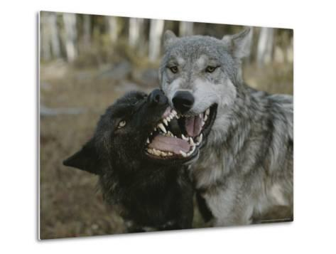 Pair of Gray Wolves, Canis Lupus, Jaw Spar-Jim And Jamie Dutcher-Metal Print