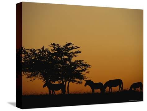 Group of Zebras Feeding at Dusk-Norbert Rosing-Stretched Canvas Print