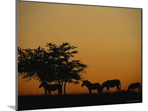 Group of Zebras Feeding at Dusk-Norbert Rosing-Mounted Photographic Print