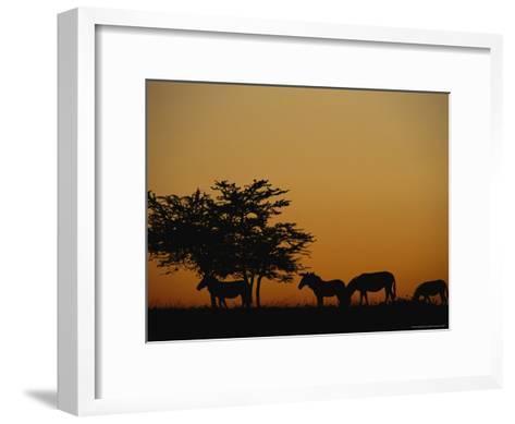 Group of Zebras Feeding at Dusk-Norbert Rosing-Framed Art Print