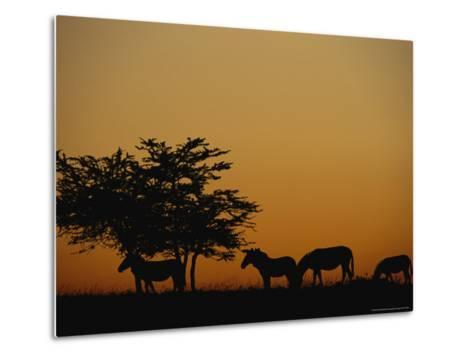 Group of Zebras Feeding at Dusk-Norbert Rosing-Metal Print