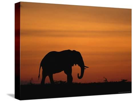 An African Elephant in Silhouette at Dusk-Norbert Rosing-Stretched Canvas Print