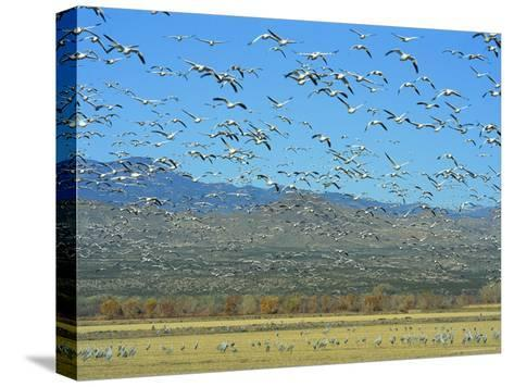 Sandhill Cranes and Snow Geese Take Flight Together-Norbert Rosing-Stretched Canvas Print