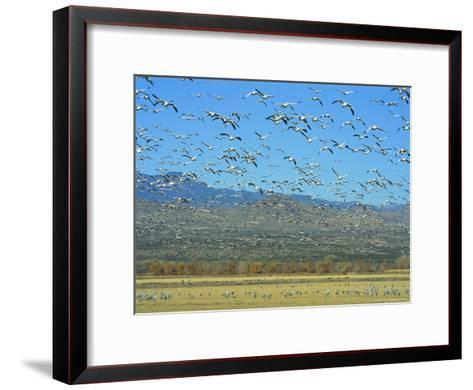 Sandhill Cranes and Snow Geese Take Flight Together-Norbert Rosing-Framed Art Print