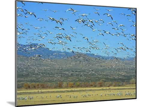 Sandhill Cranes and Snow Geese Take Flight Together-Norbert Rosing-Mounted Photographic Print