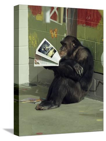 Captive Chimpanzee Looks Through a Magazine-Steve Winter-Stretched Canvas Print
