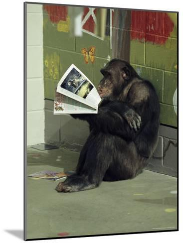 Captive Chimpanzee Looks Through a Magazine-Steve Winter-Mounted Photographic Print