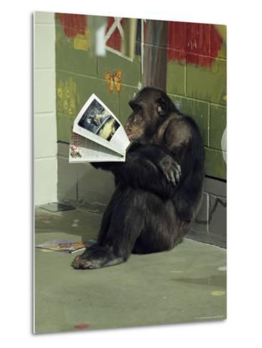 Captive Chimpanzee Looks Through a Magazine-Steve Winter-Metal Print