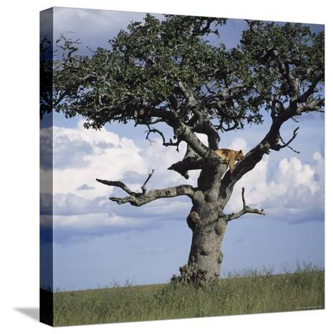 Lion Sleeps in the High Branches of a Tree-David Pluth-Stretched Canvas Print