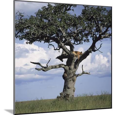 Lion Sleeps in the High Branches of a Tree-David Pluth-Mounted Photographic Print