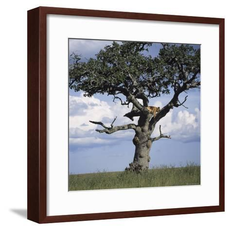 Lion Sleeps in the High Branches of a Tree-David Pluth-Framed Art Print