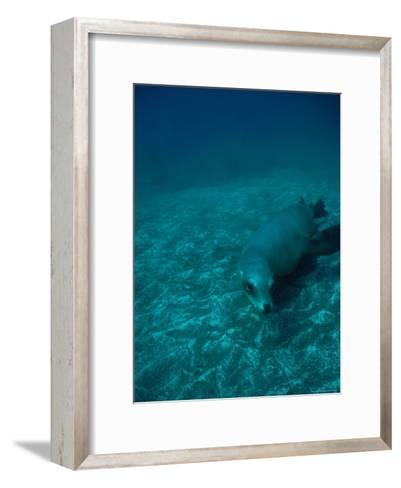 California Sea Lion Swims Close to the Sea Floor-Heather Perry-Framed Art Print