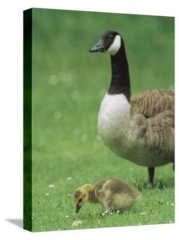 Canada Goose Watches Over Her Gosling as It Feeds on Grass-Norbert Rosing-Stretched Canvas Print