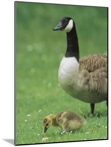 Canada Goose Watches Over Her Gosling as It Feeds on Grass-Norbert Rosing-Mounted Photographic Print