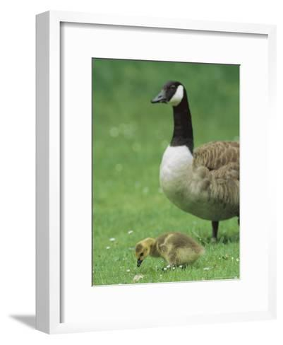Canada Goose Watches Over Her Gosling as It Feeds on Grass-Norbert Rosing-Framed Art Print