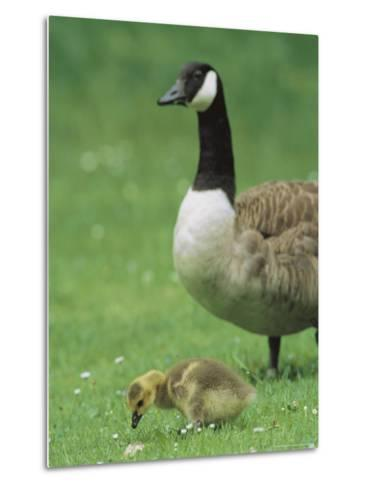 Canada Goose Watches Over Her Gosling as It Feeds on Grass-Norbert Rosing-Metal Print