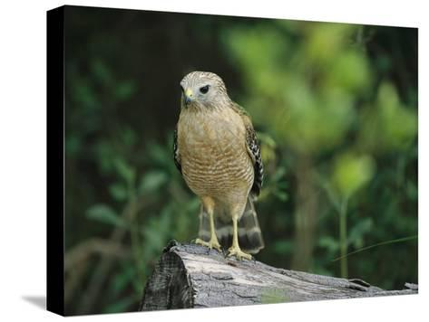 Red-Shouldered Hawk Perched on a Fallen Log-Raymond Gehman-Stretched Canvas Print