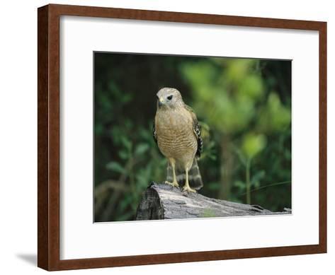Red-Shouldered Hawk Perched on a Fallen Log-Raymond Gehman-Framed Art Print