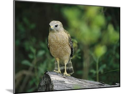 Red-Shouldered Hawk Perched on a Fallen Log-Raymond Gehman-Mounted Photographic Print