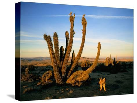 Gray Fox, Birds and Cacti in the Atacama Desert Landscape-Joel Sartore-Stretched Canvas Print
