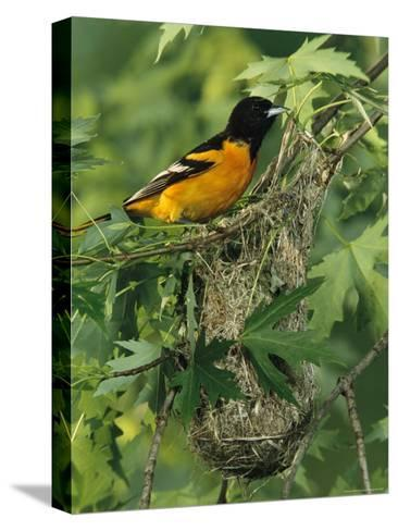 Baltimore Oriole Nesting in Wild-George Grall-Stretched Canvas Print