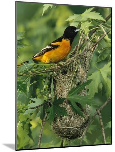 Baltimore Oriole Nesting in Wild-George Grall-Mounted Photographic Print
