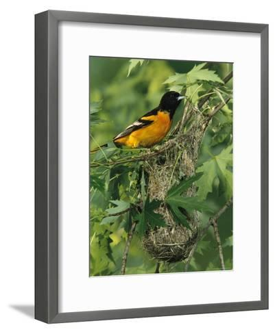 Baltimore Oriole Nesting in Wild-George Grall-Framed Art Print