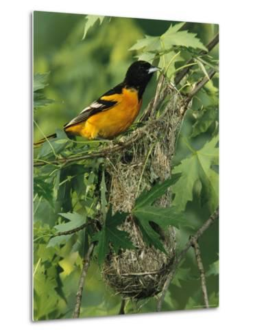 Baltimore Oriole Nesting in Wild-George Grall-Metal Print